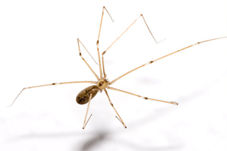 Cellar Spider Signs Of Infestion Cellar Spiders In Your Home