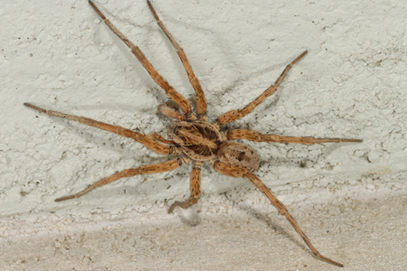 Photograph of wolf spider