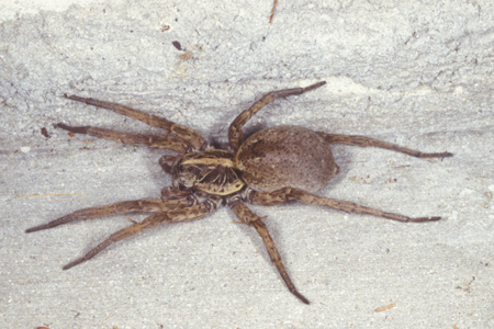 Photograph of wolf spider number 2