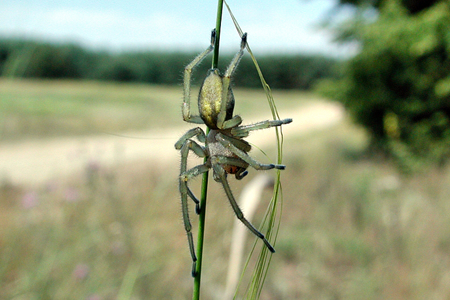 yellow-sac-spider