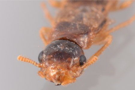 Photograph of asian subterranean termite