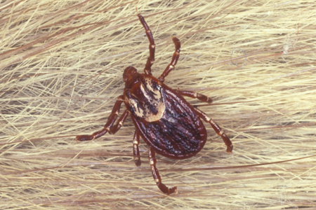 Photograph of american dog tick
