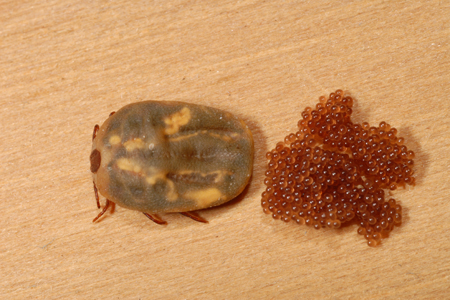 Photograph of brown dog tick number 3