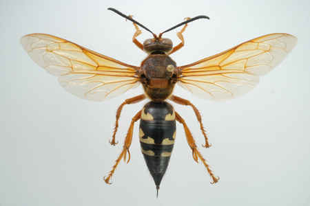 Photograph of cicada killer wasp