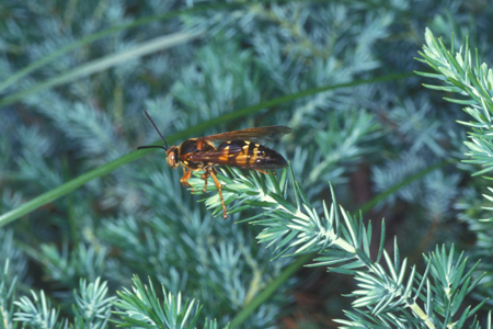 Photograph of cicada killer wasp number 2