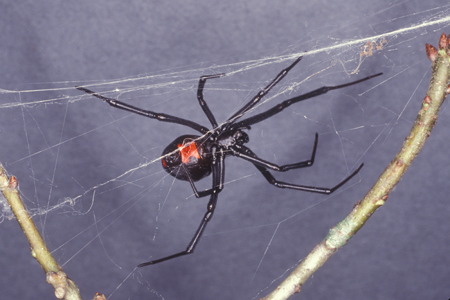 how to kill spiders naturally