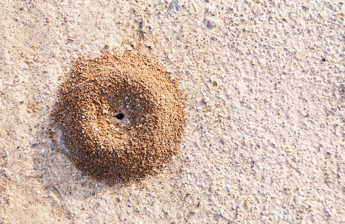 Ant mound requiring fire ants treatment in South Florida