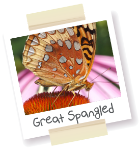 Great Spangled