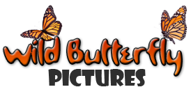 Wild Butterfly Pictures