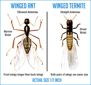 Ants And Termites Spotting The Difference Hulett