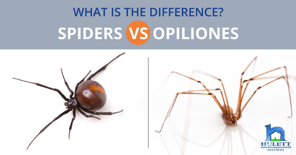What Is The Difference Between Spiders And Opiliones?