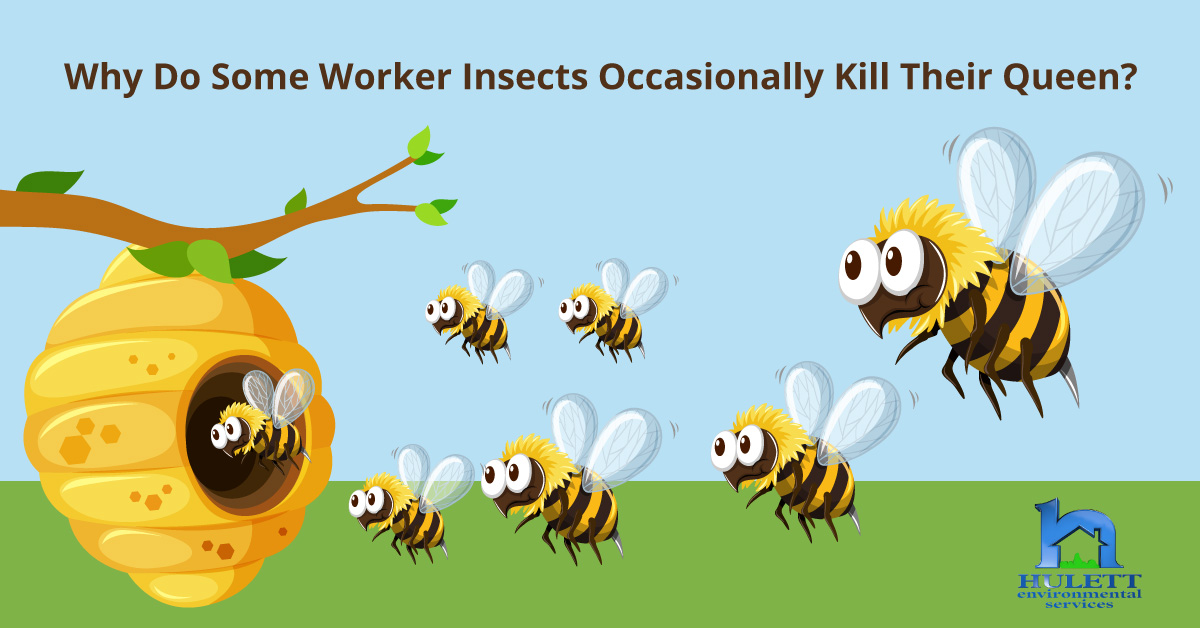 Why Do Some Worker Insects Occasionally Kill Their Queen?