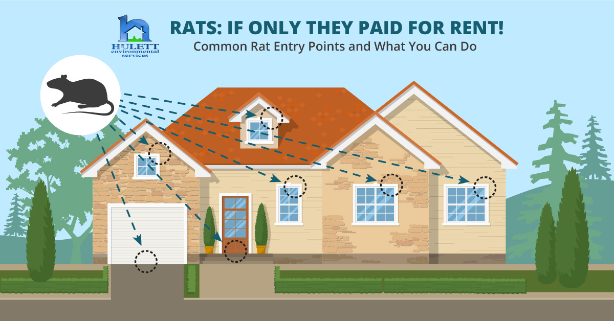 Rats: If Only They Paid for Rent! Common Rat Entry Points