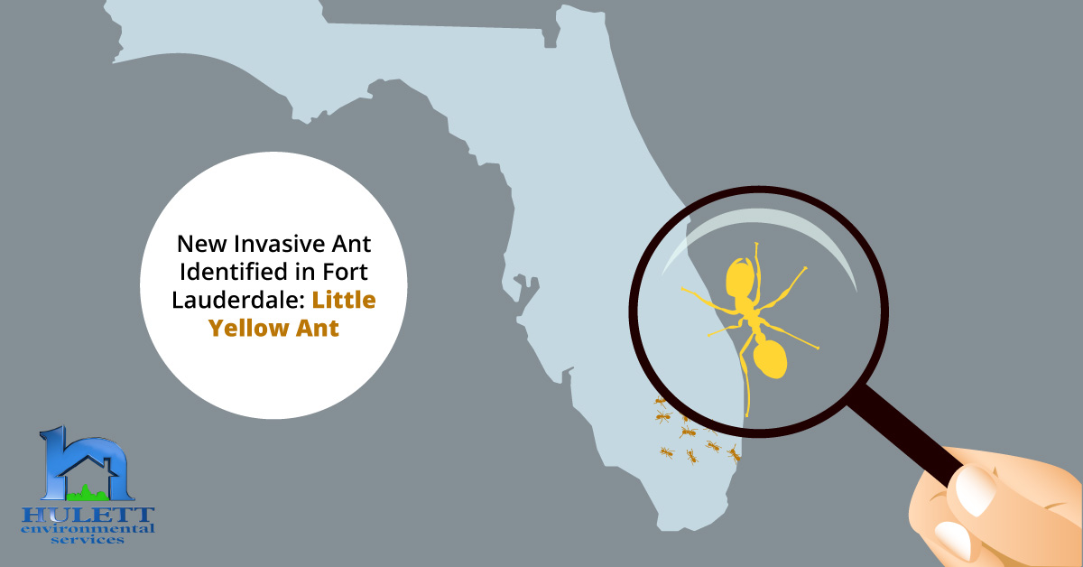 New Invasive Ant Identified in Fort Lauderdale: Little Yellow Ant