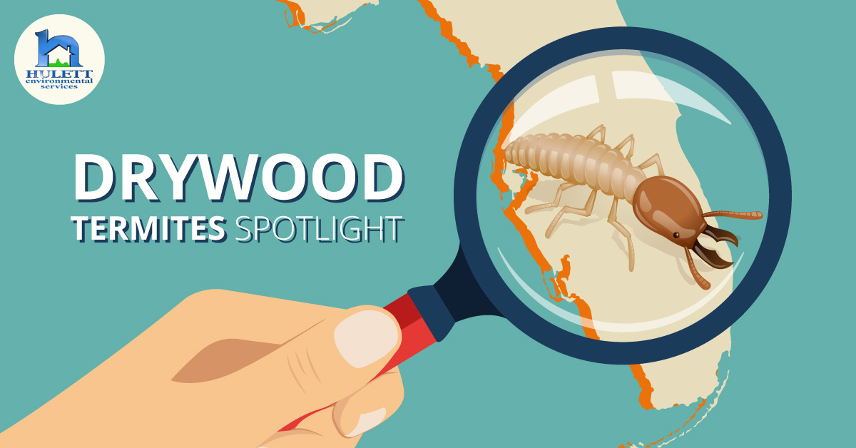 Termite Spotlight: Drywood Termites in South Florida